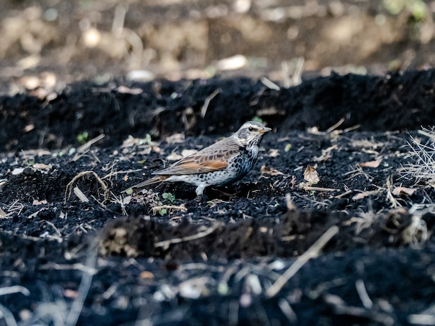 Bela foto de um lindo pássaro tordo-escuro parado no chão no campo