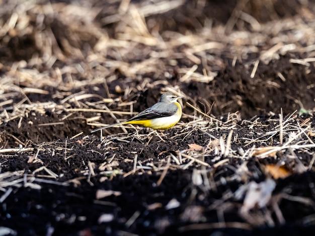 Bela foto de um pássaro alvéola cinza no chão em um campo em kanagawa, japão
