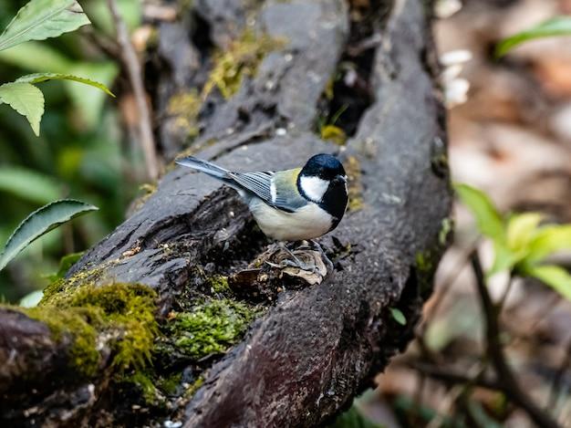 Bela foto de um pássaro chapim japonês de pé em uma prancha de madeira em uma floresta em yamato, japão