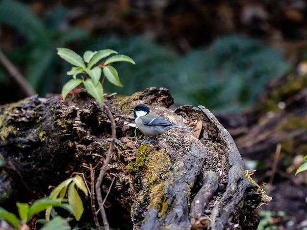 Bela foto de um pássaro chapim japonês na floresta em yamato, japão