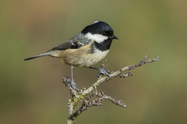 Bela foto de um pássaro coal tit empoleirado em um galho na floresta
