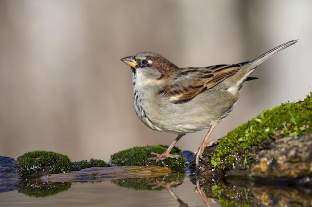 Bela foto de um pássaro pardal na rocha na floresta