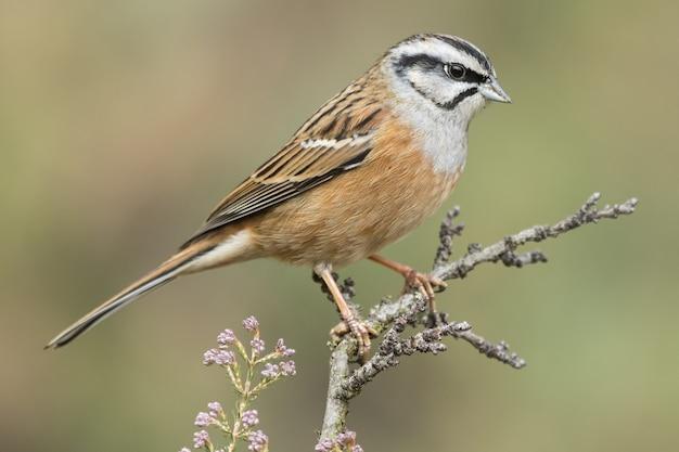 Bela foto de um pássaro rock bunting empoleirado em um galho na floresta