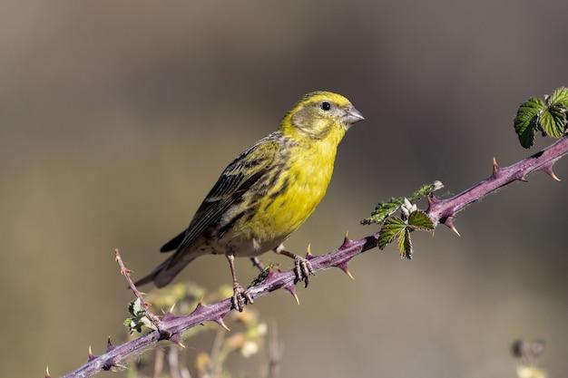 Bela foto de um pássaro serin europeu empoleirado em um galho na floresta