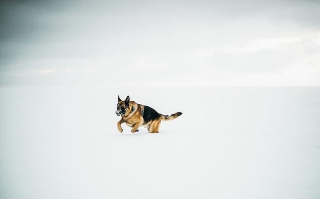 Bela foto de um pastor alemão correndo na neve