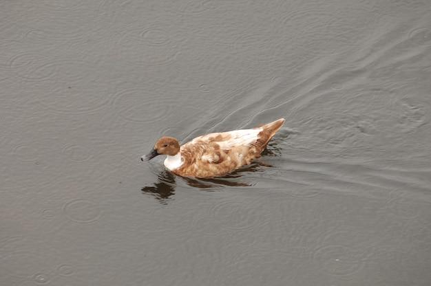 Bela foto de um pato marrom nadando na água