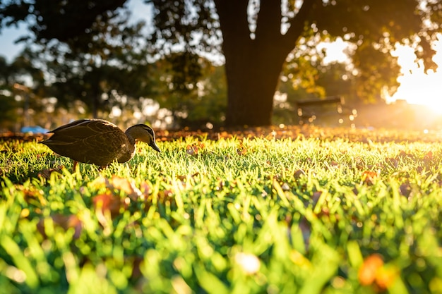 Bela foto de um pato selvagem bonito andando na grama
