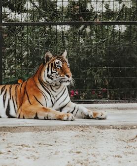 Bela foto de um tigre de bengala, deitado no chão em um zoológico