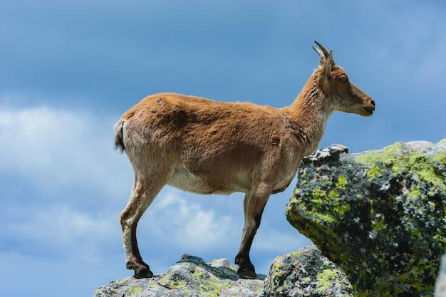 Bela foto de um veado-de-cauda-branca em montanhas rochosas