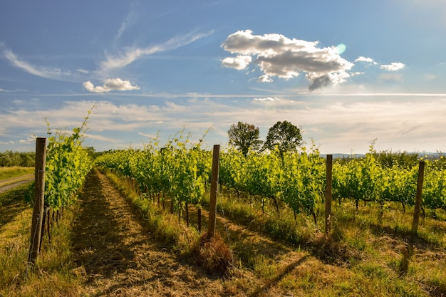 Bela foto de um vinhedo com um céu azul nublado