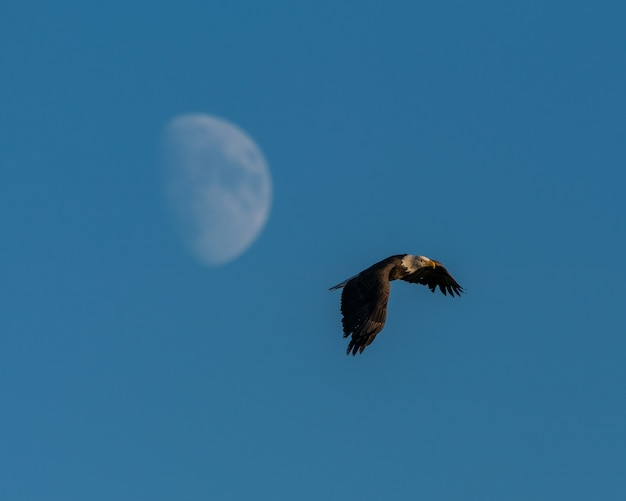 Bela foto de uma águia voando