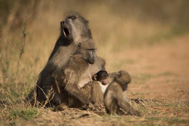 Bela foto de uma família de babuínos descansando no chão