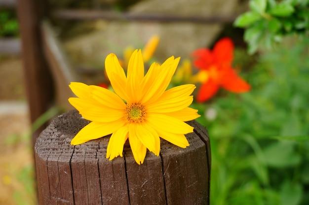 Bela foto de uma flor amarela em uma cerca de madeira no jardim em um dia ensolarado