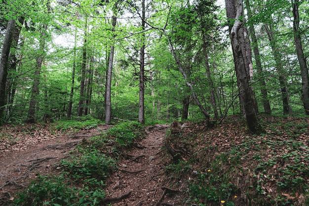 Bela foto de uma floresta cheia de árvores e um pequeno caminho no meio dela