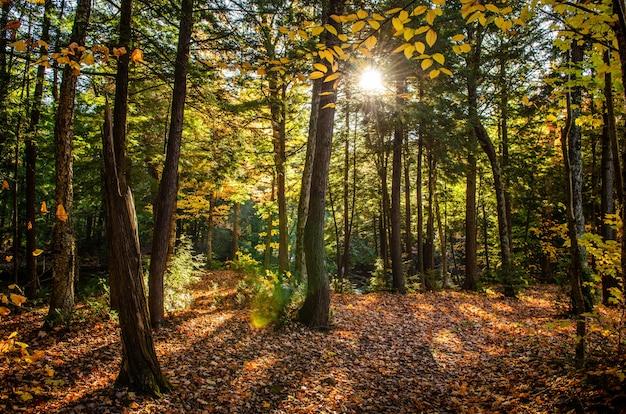 Bela foto de uma floresta com árvores verdes e folhas amarelas no chão em um dia ensolarado