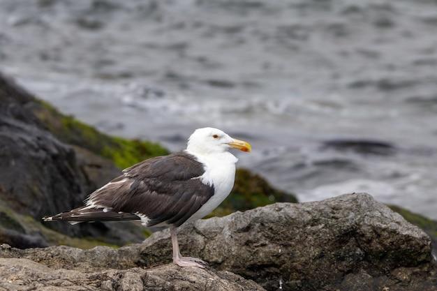 Bela foto de uma gaivota de dorso negro em uma rocha perto do oceano