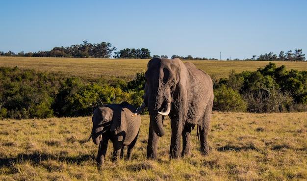 Bela foto de uma mãe e um bebê elefante em um campo