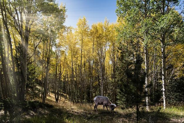 Bela foto de uma ovelha bharal comendo grama e rodeada por árvores verdes e amarelas
