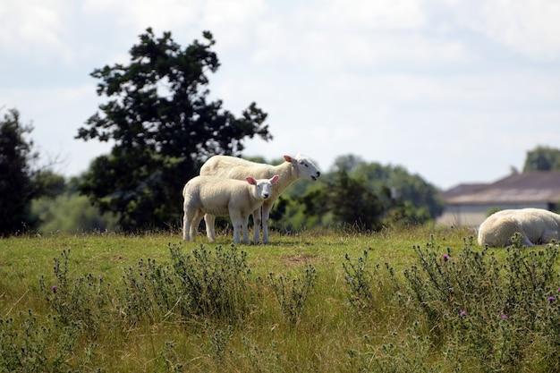 Bela foto de uma ovelha mãe com seus bebês