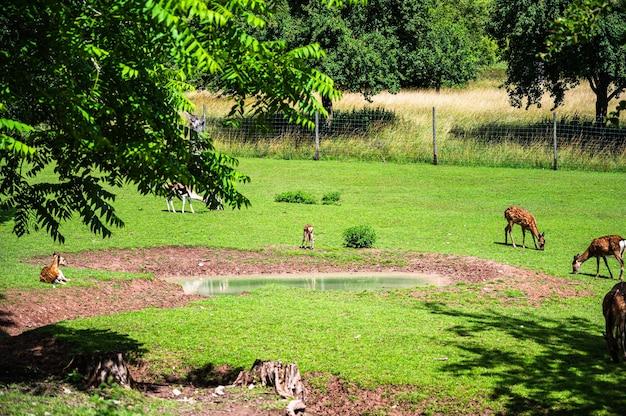 Bela foto de veados na grama verde do zoológico em um dia ensolarado