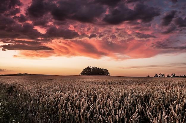 Bela foto do campo triticale durante o pôr do sol