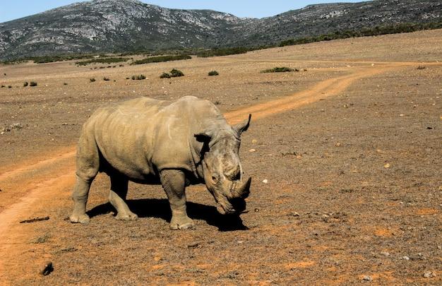 Bela foto do curioso rinoceronte em um safári
