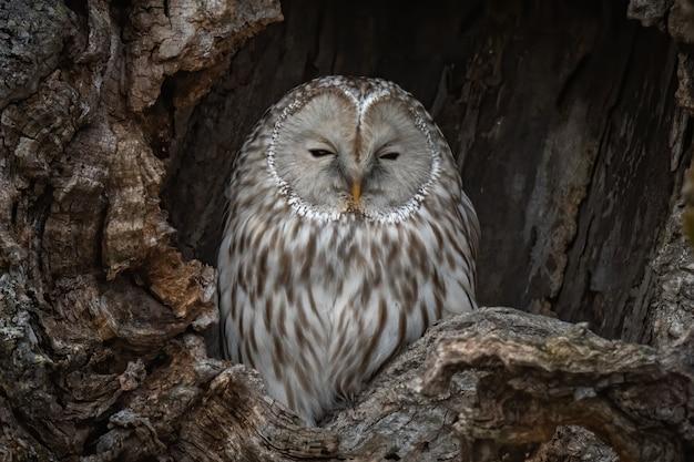 Bela foto do famoso ural owl cinza descansando em um ninho em hokkaido, japão