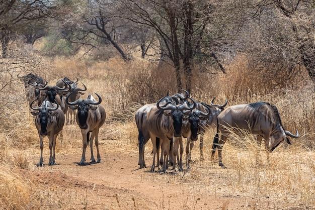 Bela foto do grupo de gnus africanos em uma planície gramada