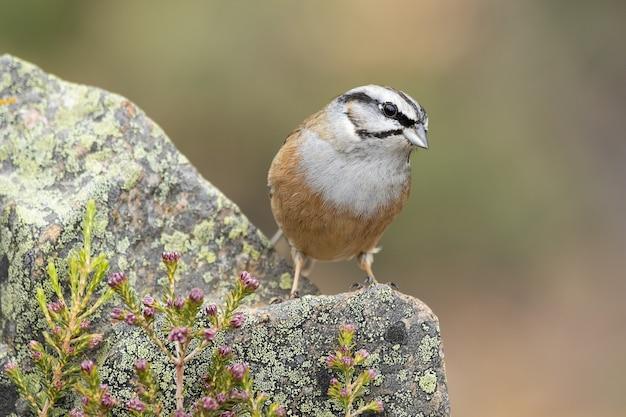 Bela foto do pardal de coroa branca sentado na rocha em uma primavera