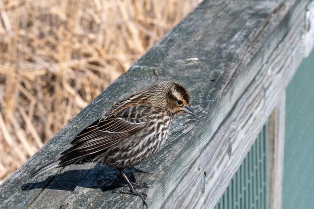 Bela foto do pardal parado na superfície de madeira