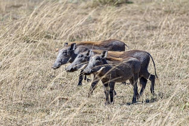 Bela foto dos javalis africanos avistados em uma planície gramada
