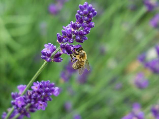 Bela foto em close de uma flor roxa de lavanda e uma abelha com vegetação