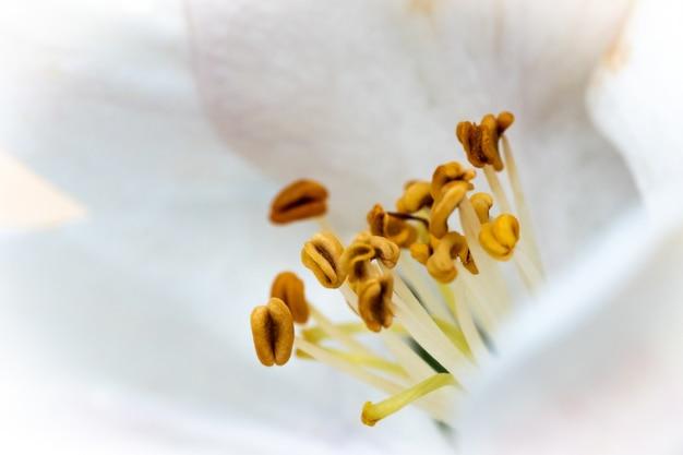 Bela foto macro de uma flor branca com néctares amarelos sob a luz do sol