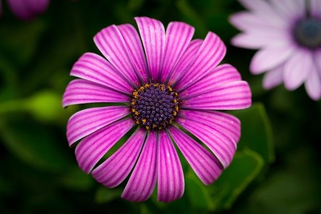 Bela foto macro de uma margarida roxa do cabo em um jardim