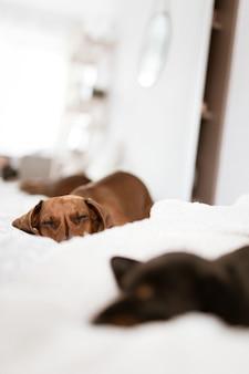 Bela foto vertical de cachorrinhos dachshund dormindo