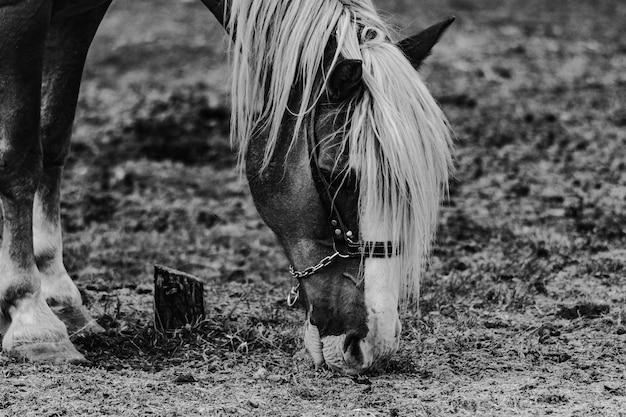 Bela foto vertical de um cavalo pastoreando em cores preto e branco