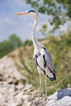 Bela foto vertical de uma ave de água doce, de patas compridas, chamada garça, em pé sobre uma rocha