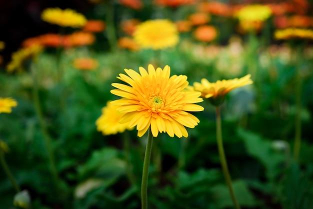 Bela gerbera flor no jardim