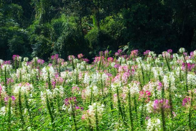 Bela hassleriana cleome ou flor de aranha no jardim, tailândia