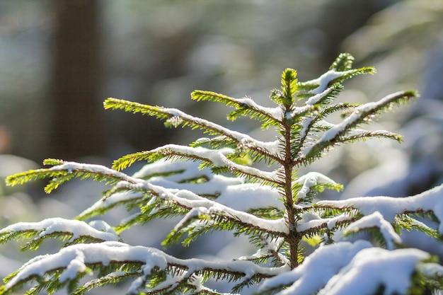 Bela incrível paisagem montanhosa de inverno de natal. pequenos pinheiros verdes jovens cobertos de neve e geada em um dia de sol frio na neve branca e clara e troncos de árvore turva copiam o fundo do espaço. Foto Premium