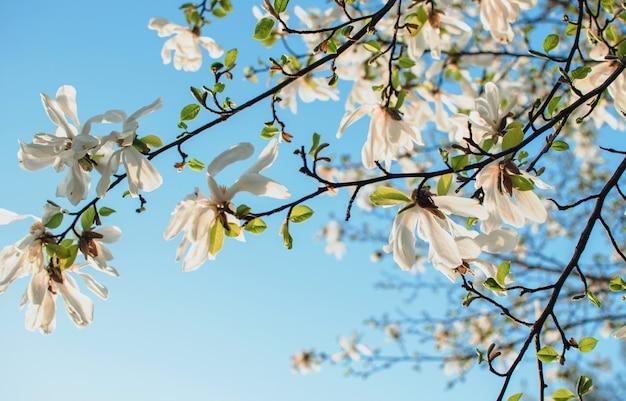 Bela magnólia florescendo ramos com flores abertas