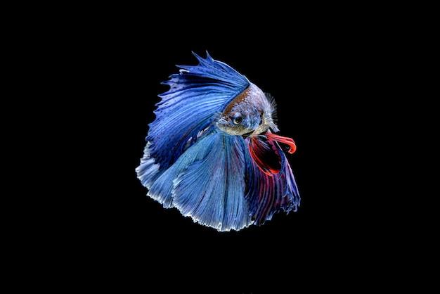 Bela meia-lua azul e vermelho betta splendens, peixe lutador siamês ou pla-kat em peixes populares tailandeses no aquário.