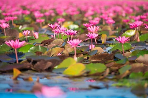 Bela natureza paisagem vermelho mar de lótus pela manhã, tailândia
