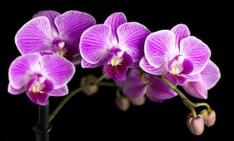 Bela orquídea rosa em um fundo preto