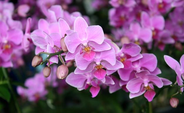 Bela orquídea roxa - phalaenopsis