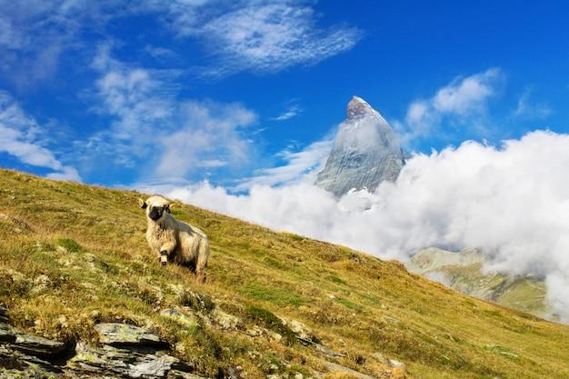 Bela paisagem alpina idílica com ovelhas e montanha matterhorn, montanhas dos alpes