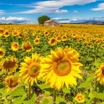 Bela paisagem com campo de girassóis, céu azul nublado e sol forte.