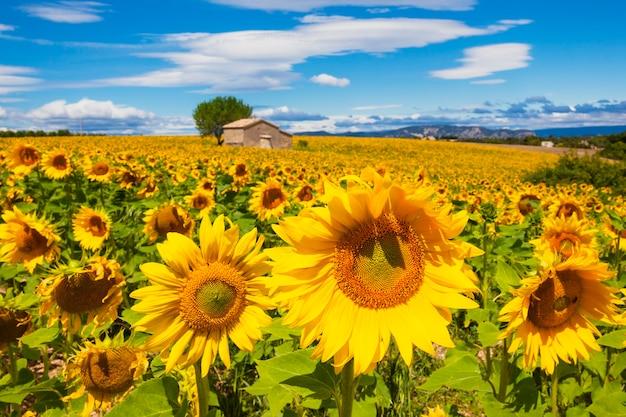 Bela paisagem com campo de girassóis e céu azul nublado