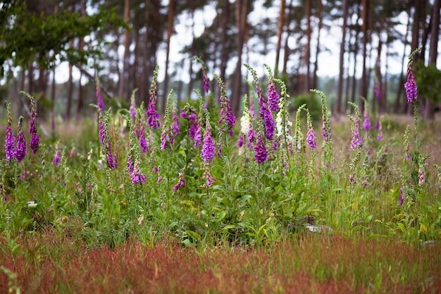 Bela paisagem com dedaleira roxa e outras flores silvestres na floresta