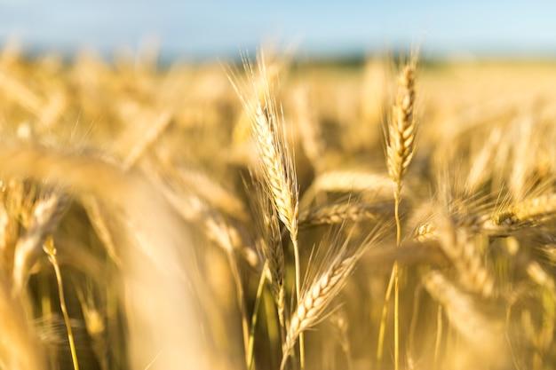 Bela paisagem com grãos dourados